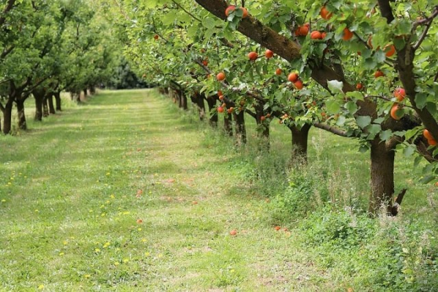 nature-apricots-trees-fruit-beautiful-orchard